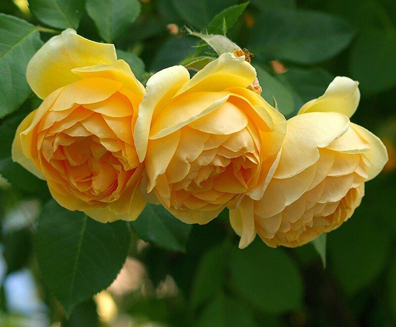 """Роза """"Graham Thomas"""""""