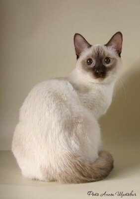 Тайские кошки—кошки интеллектуалы