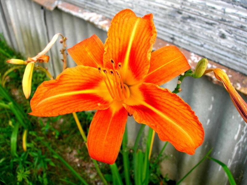 Фотография : Цветок у забора, фотограф Апарышев, день рождения, поздравление, цветок, цветы, юбилей, фотография, фото, flows, фотки.