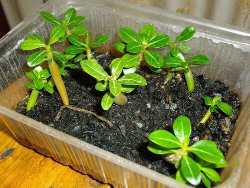 Выращивание статицы из семян в домашних условиях