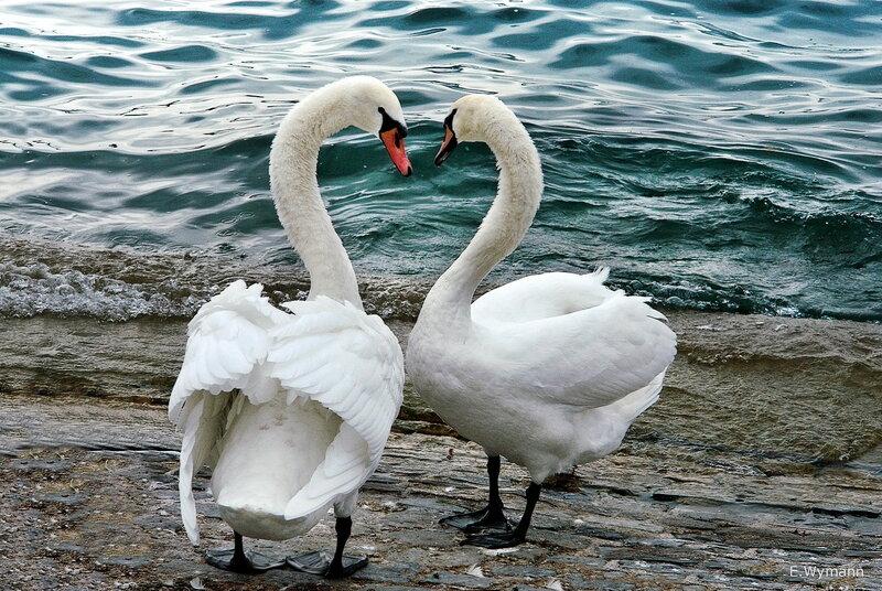 Два лебедя - две верности