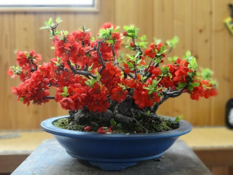 national-gardens-5-japanese-flowering-quince-bonsai-original-imaej3ekg52mcpah.jpeg