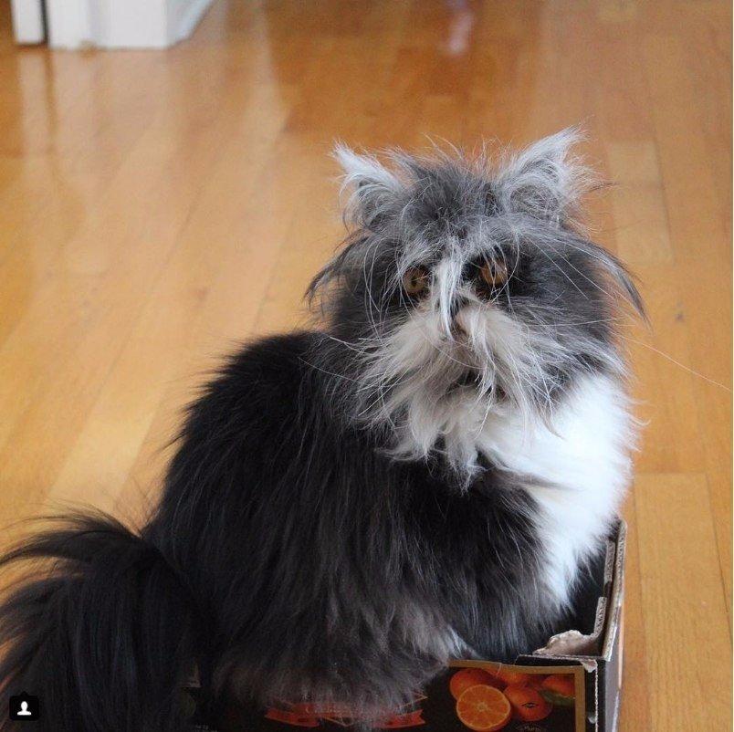 Канадский кот Атчум, который выглядит как чокнутый профессор