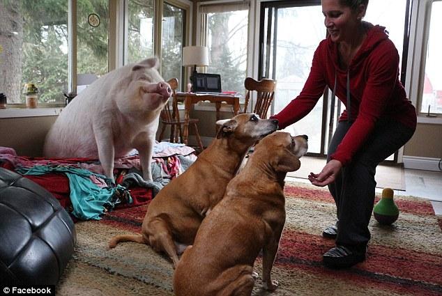 «Карликовая» свинья выросла до 300 килограммов, вынудив хозяев купить новый дом (10 фото)