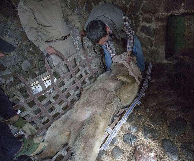Спасение медведицы Маши из «тюрьмы» в Армении