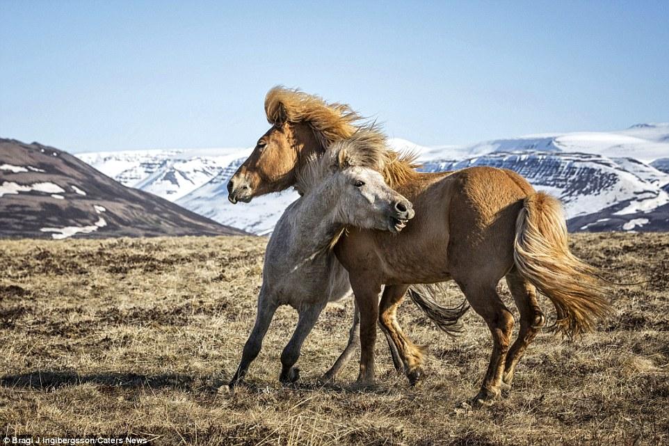 Дикие лошади в игривом настроении на просторах Исландии (13 фото)
