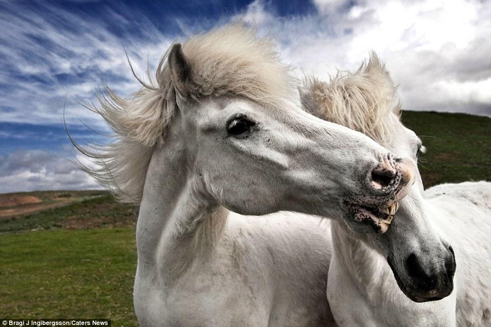 Дикие лошади в игривом настроении на просторах Исландии