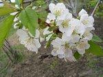 Cerasus avium (L.) Moench - вишня птичья или черешня