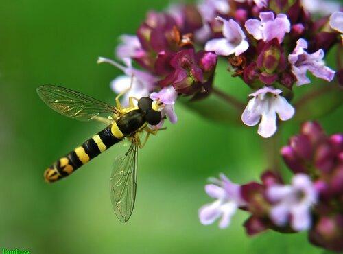 Журчалка / Syrphidae