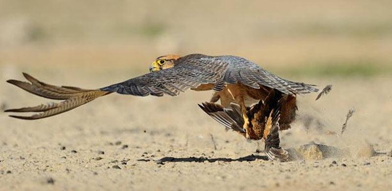 14. Средиземноморский сокол в мгновение ока поймал рябока. (HANNES LOCHNER / BARCROFT MEDIA)