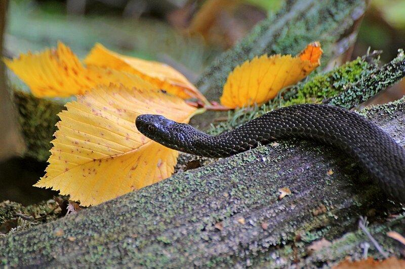 Обыкновенная гадюка (Vipera berus) чёрного цвета (меланист) среди поросших лишайником деревяшек и осенних листьев на Змеиной поляне заповедника «Нургуш»
