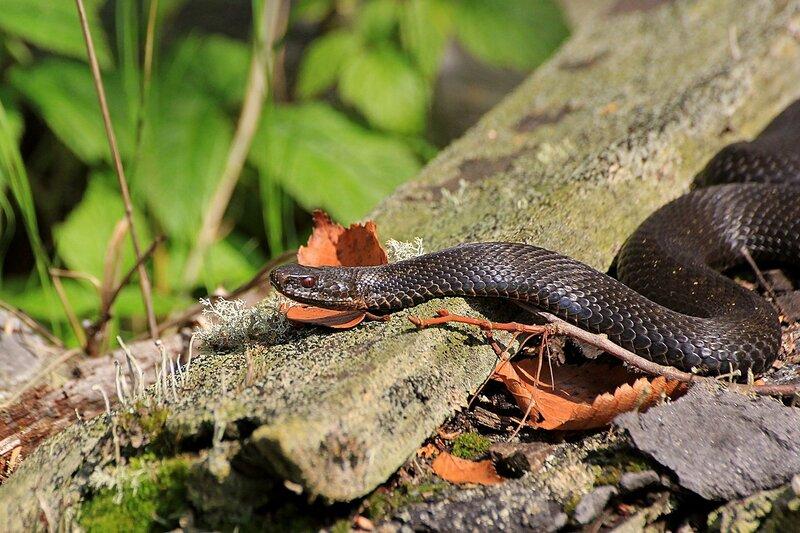 Обыкновенная гадюка (Vipera berus) чёрного цвета (меланист) с красными глазами среди поросших лишайником деревяшек на Змеиной поляне заповедника «Нургуш»
