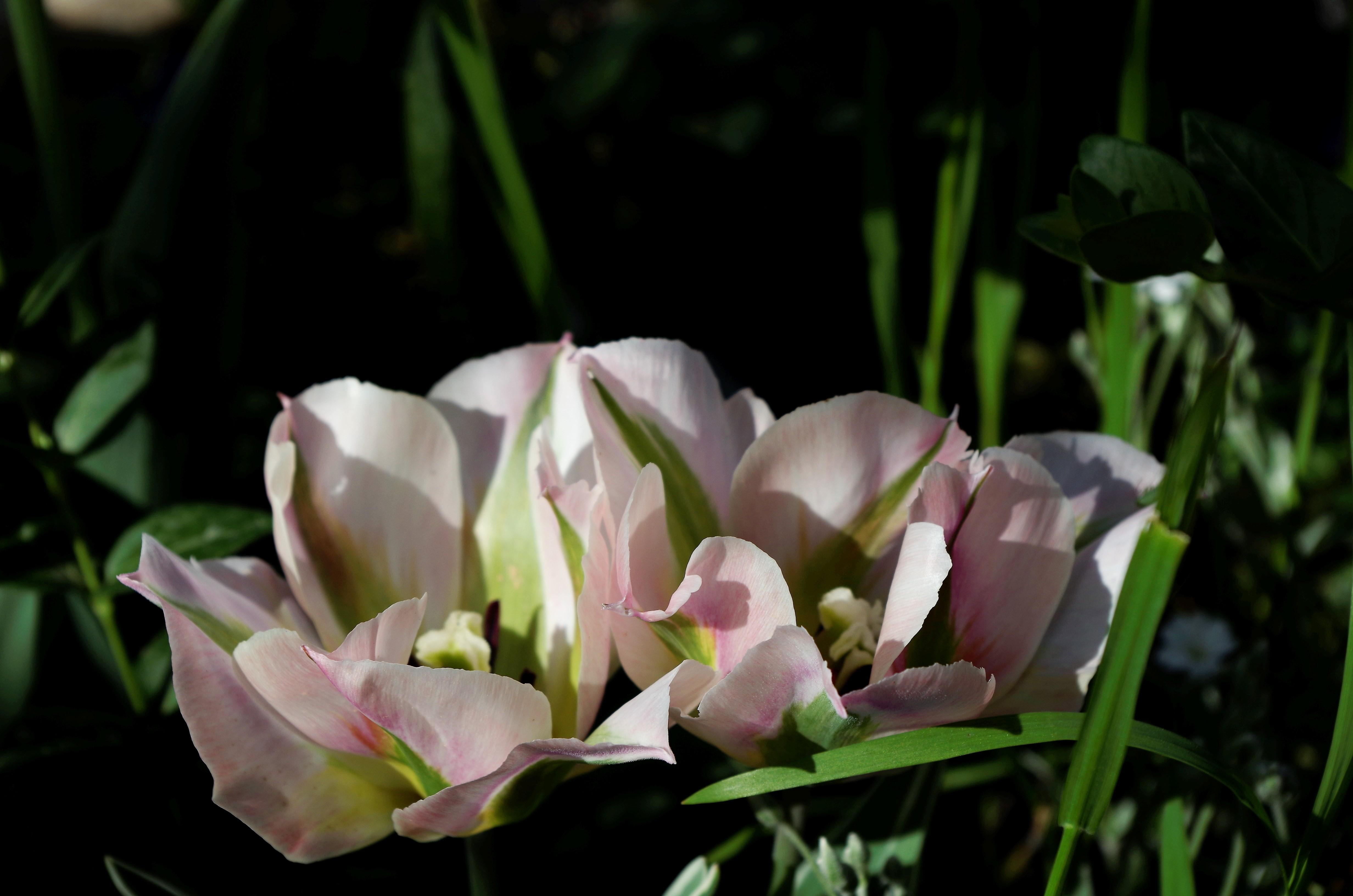 Любины тюльпаны