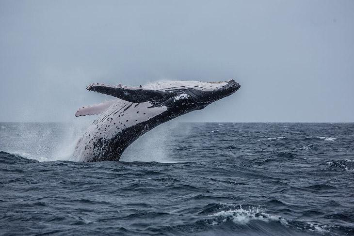 Королевство Тонга и горбатые киты (12 фото)