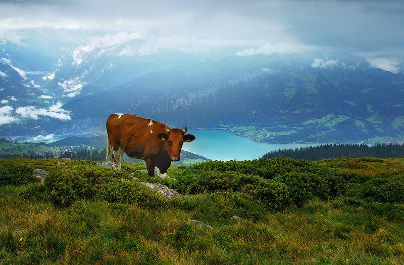 о горных коровах