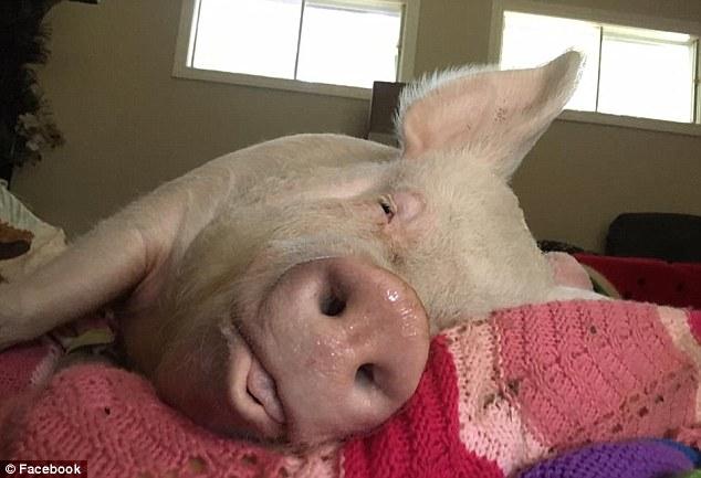 животные белые медведи свиньи свинья дома было и стало Дом-2 друзья