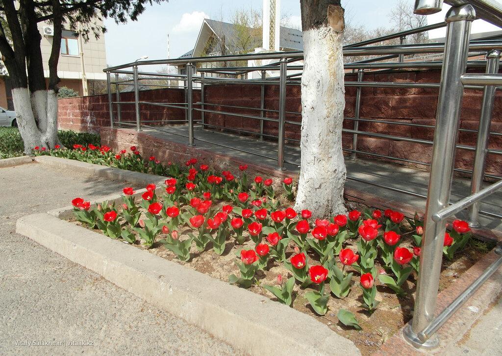 Тюльпаны в Шымкенте март 2018