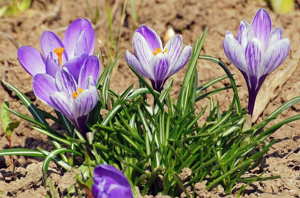 крокусы апреля