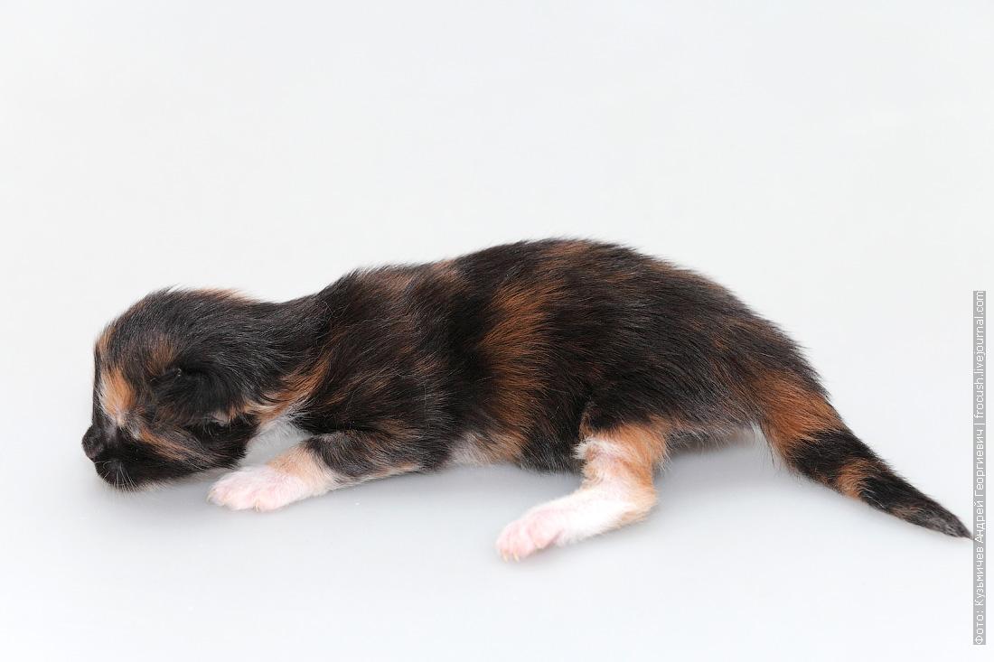 котенок мейнкун фотография