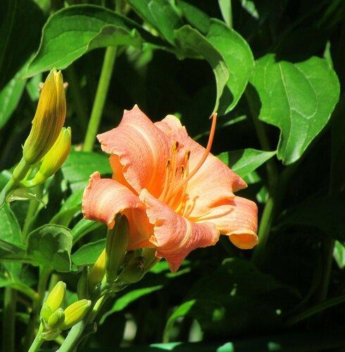 Лилейник цвета персика