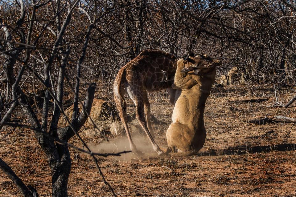 Естественный отбор: львица два часа убивала маленького жирафа