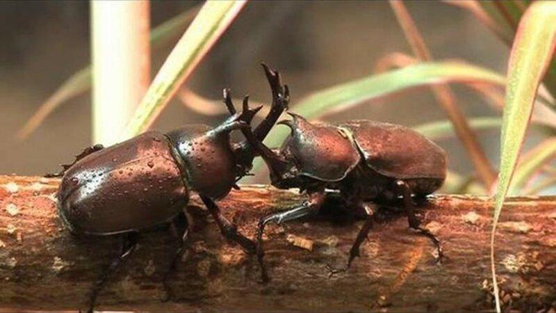 Ученые описали боевые приемы жуков носорогов (цитата)