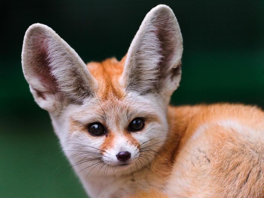 6. Фенек Эти животные настолько милые, что их даже не портят несоизмеримые с головой уши. Благодаря