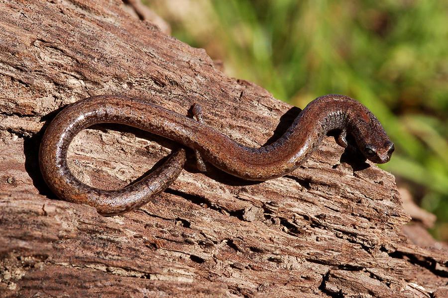 9. Стройная саламандра При длине тела в 10 сантиметров природа наградила стройную саламандру неимове