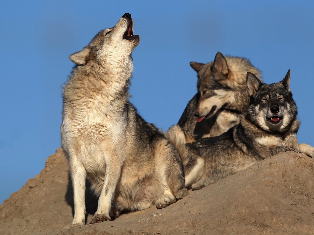 Волки — 10 смертей в год Нападения волков на человека довольно редки в тех частях света, где они про