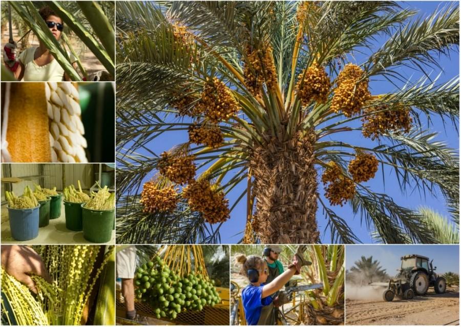 Как выращивают и собирают финики в Израиле (54 фото)