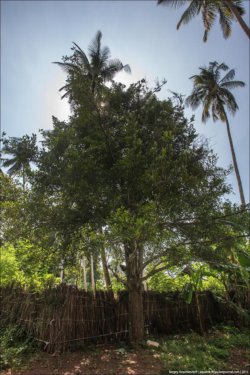 6. Это дерево — мускатный орех. Его родина, как и гвоздики, Молуккские острова.