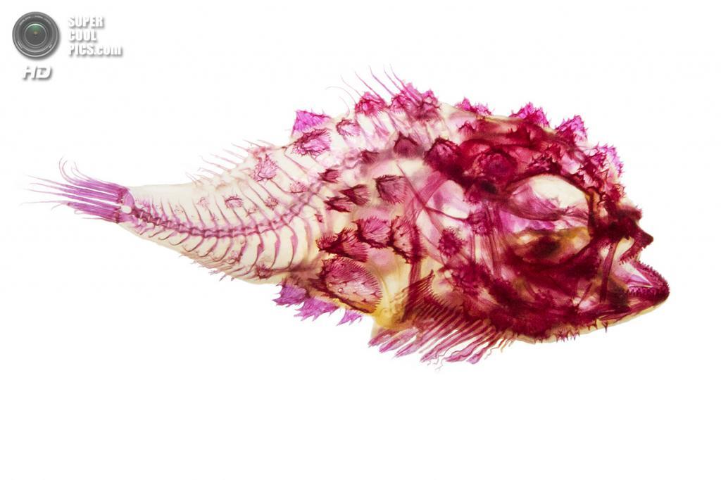 Круглопёр Eumicrotremus orbis. (Adam Summers)