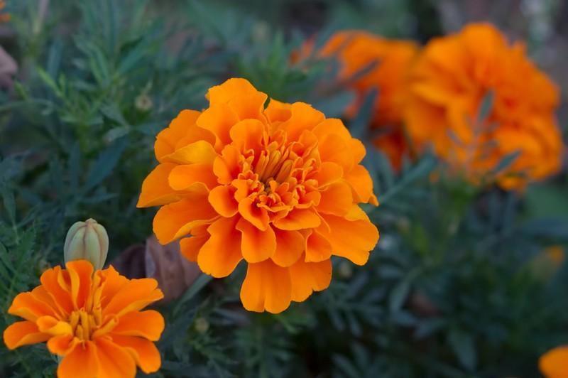 4. Бархатцы Эти цветы, которые в большом количестве растут на многих городских клумбах, способны отп