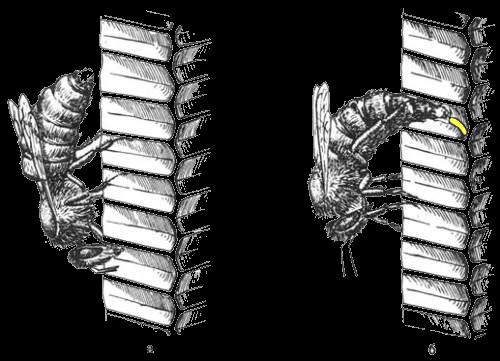 Откладка яиц пчелиной маткой