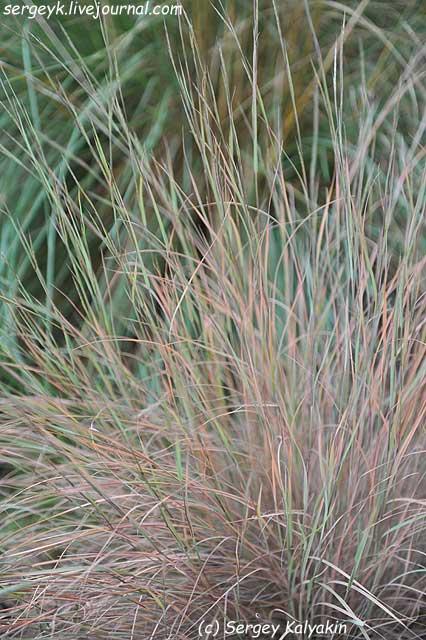Schizachyrium scoparium.jpg