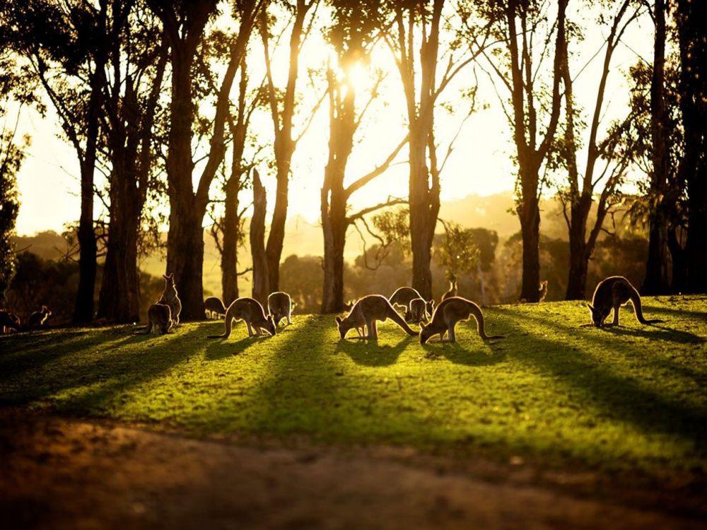 Куда же в Австралии без кенгуру.