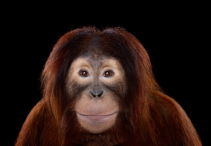 1. Шимпанзе. (Фото Brad Wilson):