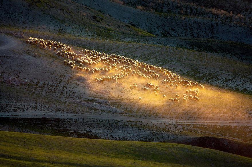 Овцы на полях Тосканы в Италии