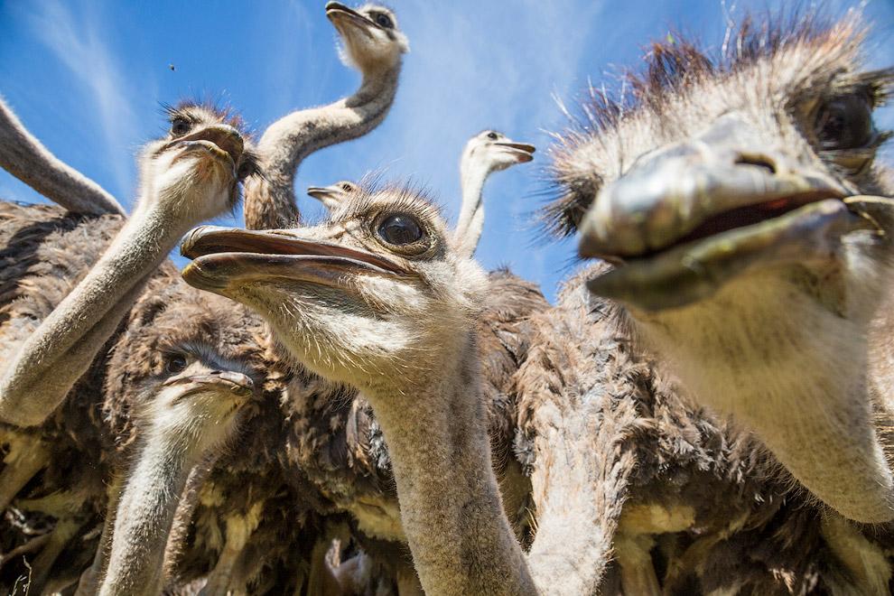 7. Оперение у страуса рыхлое и курчавое. Не оперены у них голова, шея и бёдра.