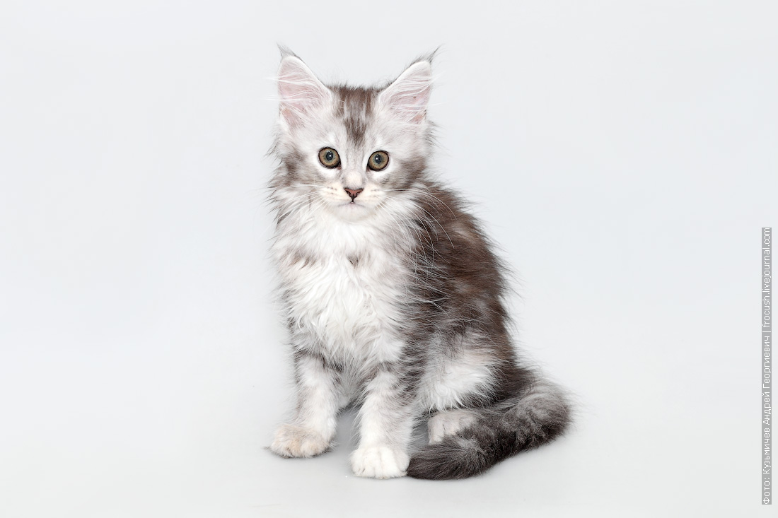 мейн кун кошка