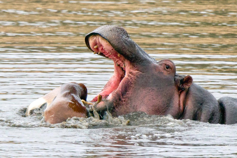 Hungry Hippo: Impala Carcass Becomes Wild Hippo's New Toy
