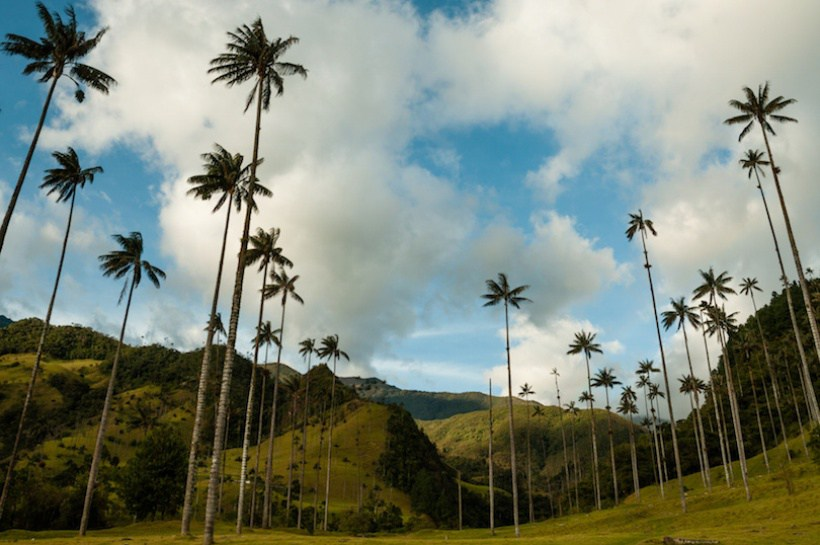 Tall Palm trees on green grass under blue sky with clouds in Cocora Valley