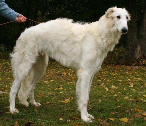 7 знаменитых пород собак, выведенных в России