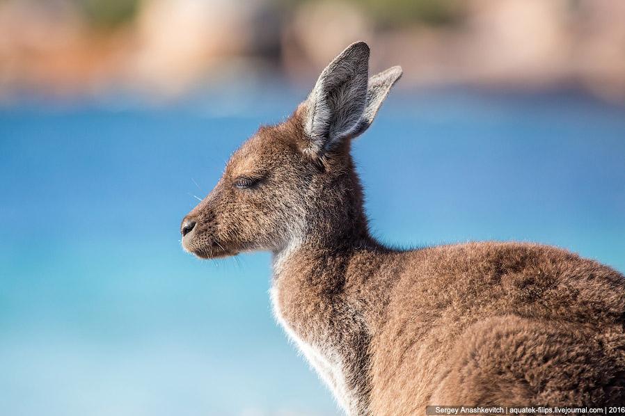 15. Скачущих по пляжу кенгуру можно снимать бесконечно.