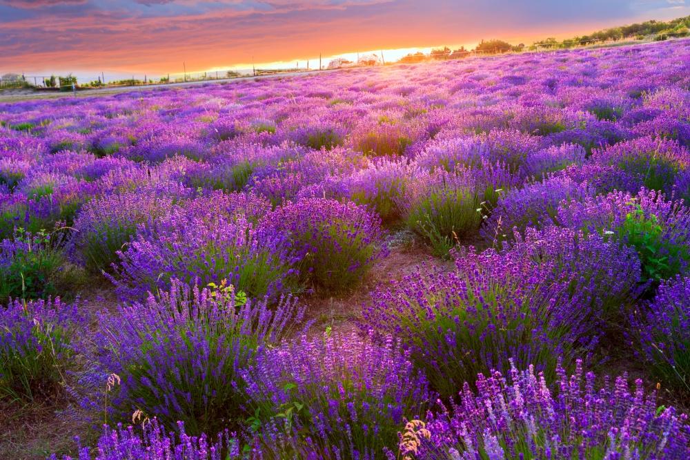 Полуостров Тихань— настоящее природное сокровище Венгрии, знаменитое своими лавандовыми полями. Есл