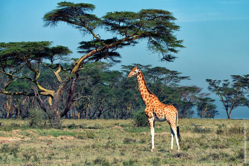 8. Несмотря на то, что жираф является символом Танзании, в Кении их больше. В том смысле, что н