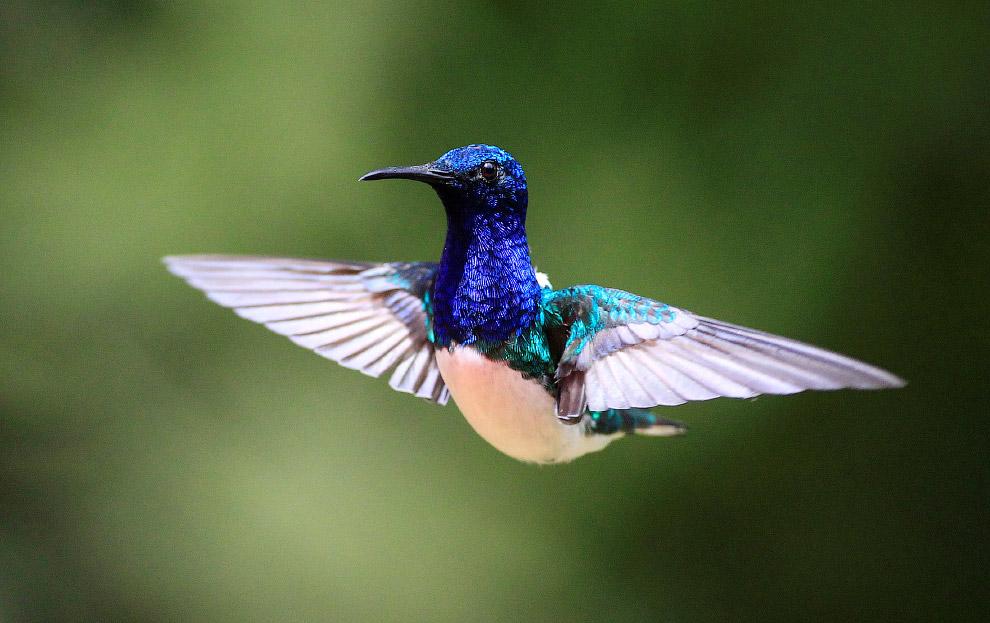4. Полёт их чрезвычайно быстрый (до 80 км/ч), ловкий и маневренный, напоминает полёт чешуекрылы