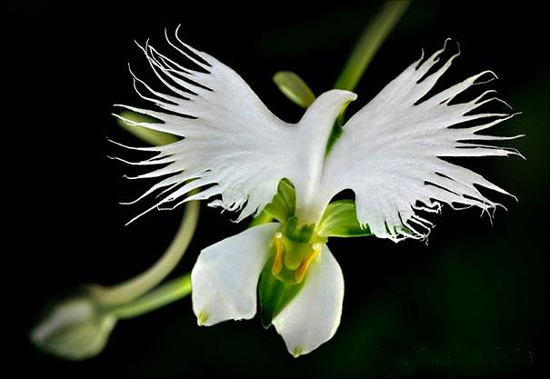 28. Орхидея «Белая цапля»