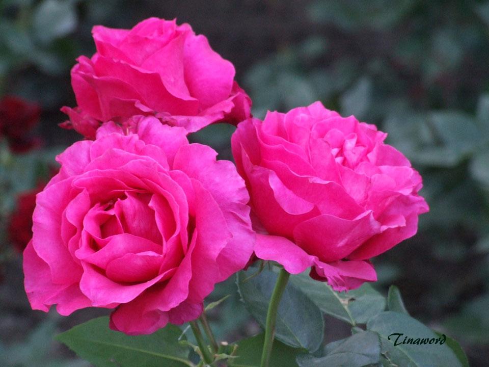 розы-65.jpg