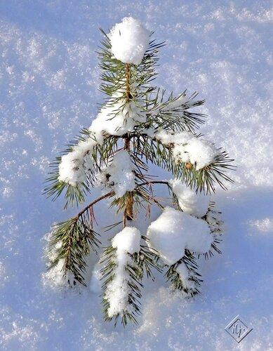 Холодно сосенке зимой